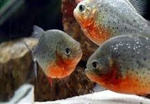 سمك مفترس نوع بيرانا طول تقريبي 35 ال 40 سم الصحة ممتاز