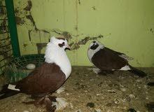 مجموعة طيور للبيع كلمن وسعره