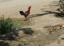 دجاج باكستاني اصلي