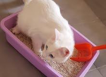 عاجل/ قط شيرازي حبوب مع قفصه وكافة أغراضه وطعامه.