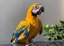 Opaline Macaw