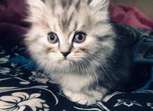 قط صغير امريكي ا