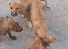 كلاب ضغار للبيع