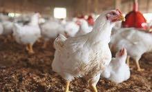 دجاج ابيض تربيه مزارع