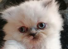 قطة هيملايا عمر شهر ونص للبيع