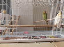 ،درى ، دكر., parrot durra , canary