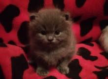 قطط نوع كيتنز