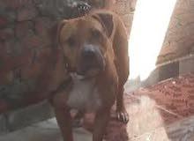 كلب بيتبول للبيع  شرس