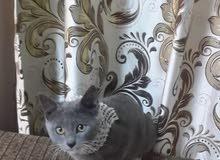 قط ذكر للتبني
