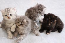 قطط شيرزاي ذكور مون فيس