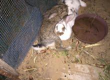 كوبية ارنب للبيع ثلاث اناث و دكر