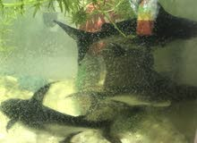 سمك قرش وحشي بسعر بلاش ضغم (3)  ب25
