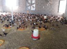 دجاج عماني عمر شهر ونص انتاج مستمر شهريا
