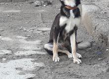 كلب انثى للبيع ام اربع عيون حراسه