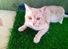 لبيع قطة شيرازية