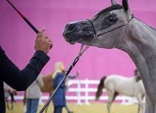 حصان عربي واهو للبيع