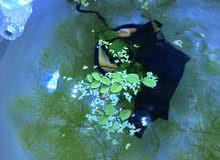 Frogbits and Duckweed