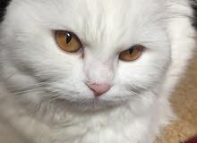 قطه بيضاء شيرازي فارسي