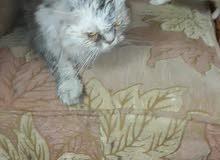 قطة البيع هاف بيكى..