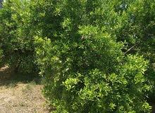 ارض للبيع مساحتها3 ونصف فدان مثمره برتقال ويوسفي امام المياه البحري