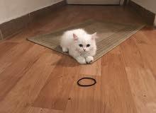 قطه شيرازً 3 شهور