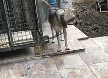 للبيع كلب ولف دوك اصلي الام ذيب والاب كلب