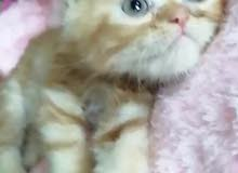 قطط للبيع شيرازي