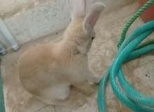 ارنب للبيع بني انثئ