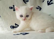 Snow-white british kitten