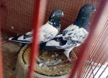للبيع مجموعة طيور باكستانيات