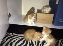 قطط شيرازي علي تركي