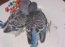 زوج طيور حب وافراخهن