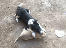 كلب هاسكي هجين مع وايت جيرمن