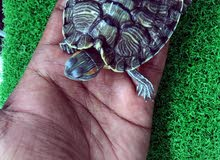 Turtles  for sell