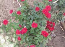 جنايني  gardener لتنسيق الحدائق العامة والخاص في السودان