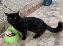 male persian cat