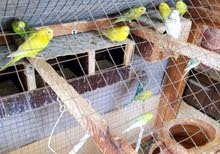 8 pair of budges with big cage