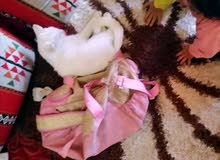 قطه شيرازيه أنثى العمر 7 اشهر ونص
