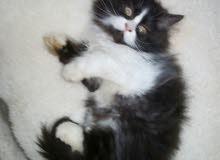 خصم خاص للصامل قطط هاف بكي توب كيتن