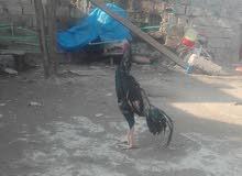 ديك ودجاجات