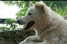 كلاب للبيع امريكي مدرب السعر60الف للتواصل 770791619