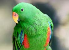 ببغاء electus_ parrot