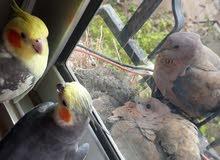طيور نوع كوكتيل عددهم2  .....    (ذكر وانثى)