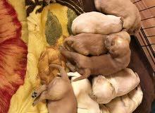 golden retriever puppies جولدن روتريفير