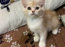 قطط شرازيه