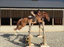 حصان قفز حواجز ممتاز