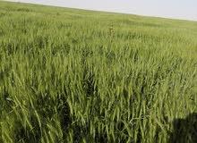 شراكة في زراعة برسيم حجازي