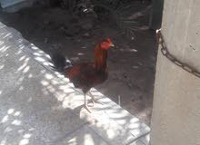 زوج دجاج عرب للبيع