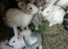 ارانب للبيع العدد عشرين ارنب عمر شهرين وثلاث شهور