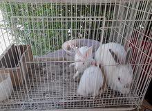 للبيع ارانب